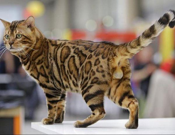 Бенгальський кіт на виставці