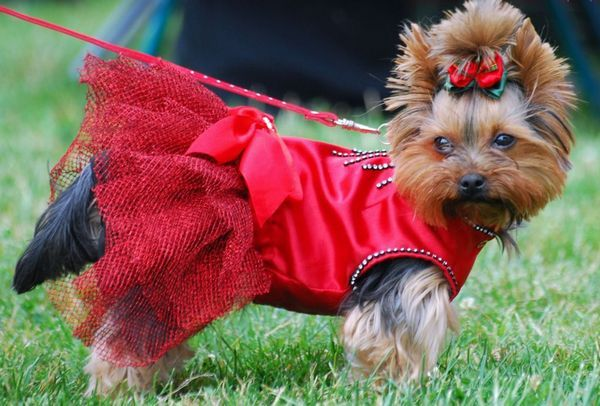 У собак, то зазвичай період тічки цілком пізнаваний за певними ознаками
