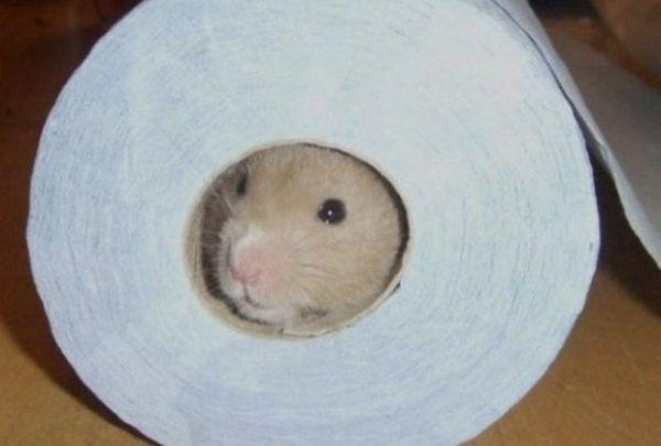 Škrečok v toaletnom papieri