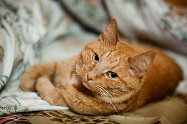Рудий кіт ображений