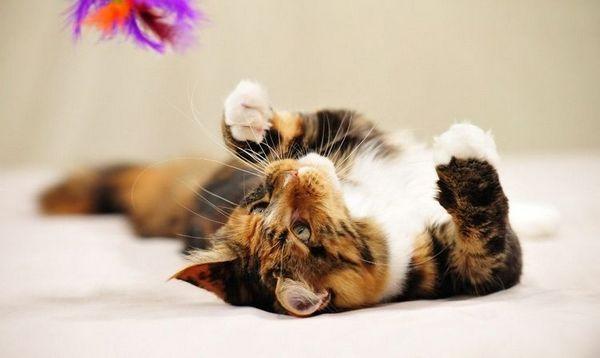 Триколірний кіт грає