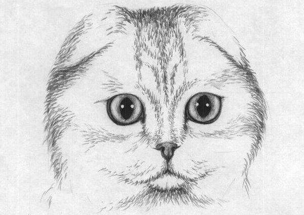 Малюнок шотландської вислоухой олівцем
