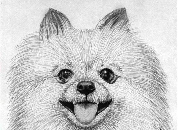 Портрет шпіца олівцем