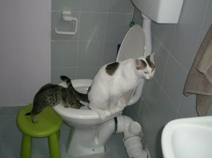 З чого почати навчання кішки до унітазу