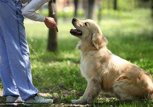 Дресирування дорослих собак