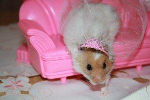 хом`як принцеса