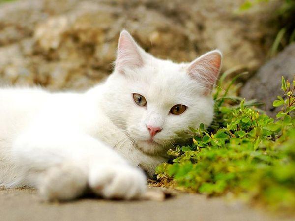 Біла кішка