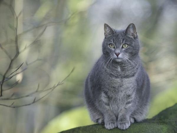 сіра кішка