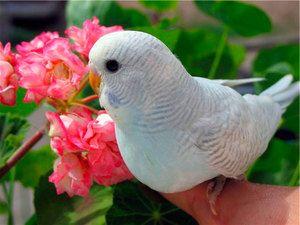 Як назвати папужки