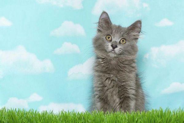 Сіре кошеня з зеленими очима