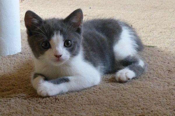 Сіро-білий кошеня