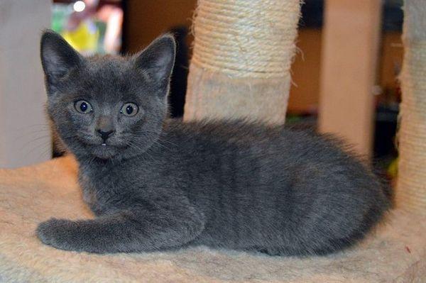 Сірий котик у когтеточки