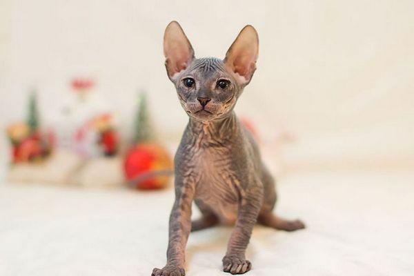 Сіре кошеня сфінкс