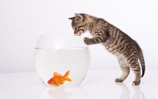 Кошеня і золота рибка