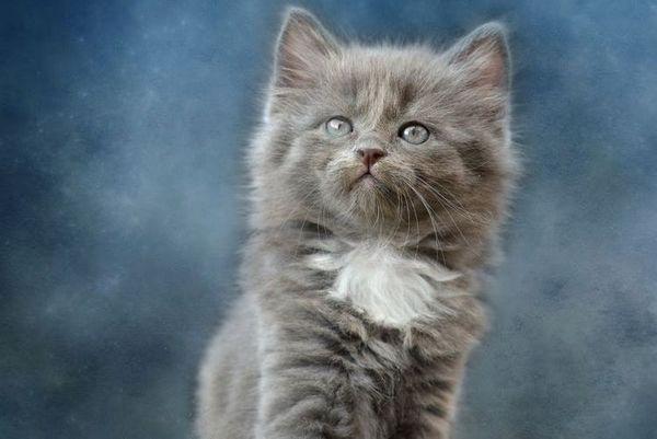Сіре кошеня з білою грудкою