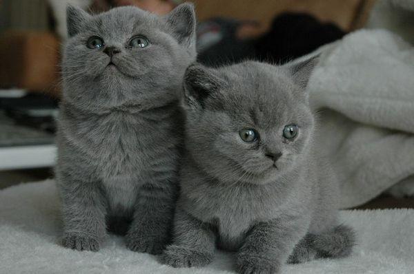 Сірі шотландські кошенята