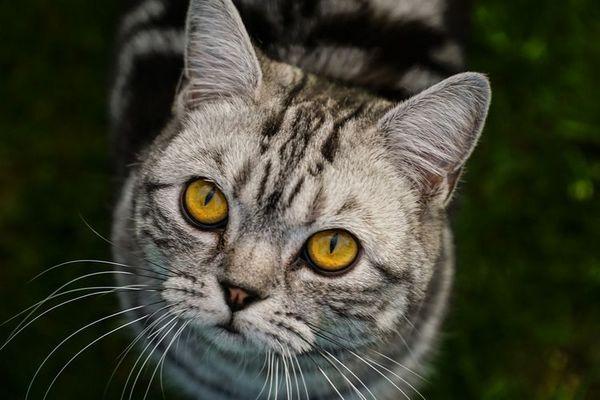 Сірий кіт з жовтими очима