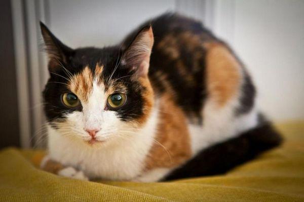 триколірна кішка
