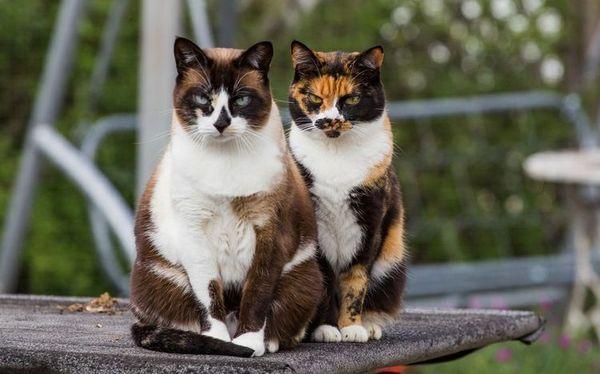 Клички для триколірних кішок
