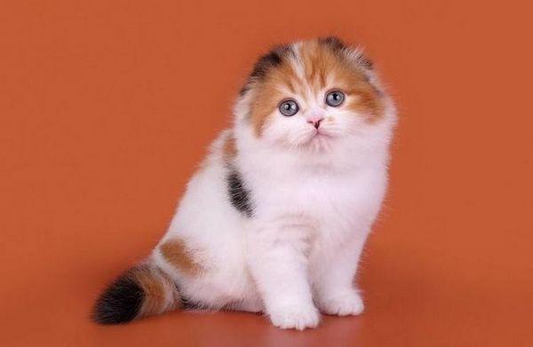 триколірний кошеня