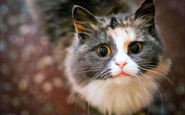 Імена для триколірних кішок