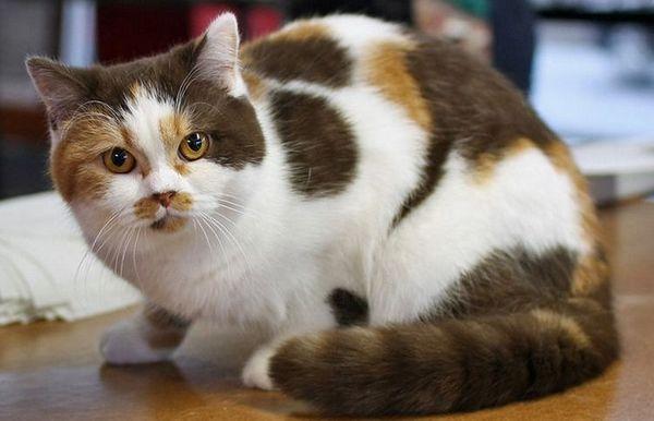 Список кличок для триколірних кішок