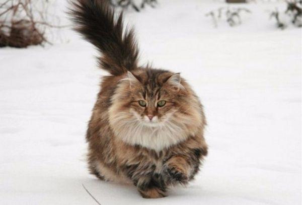 4. Норвезька лісова кішка