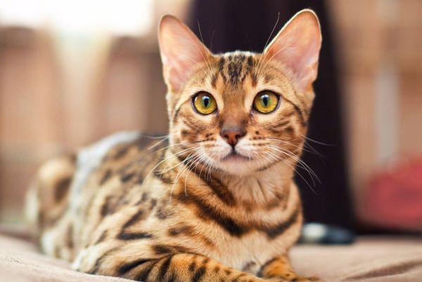 Народні прикмети про смугастих котах
