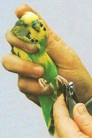 Как да отрежете нокти на папагал