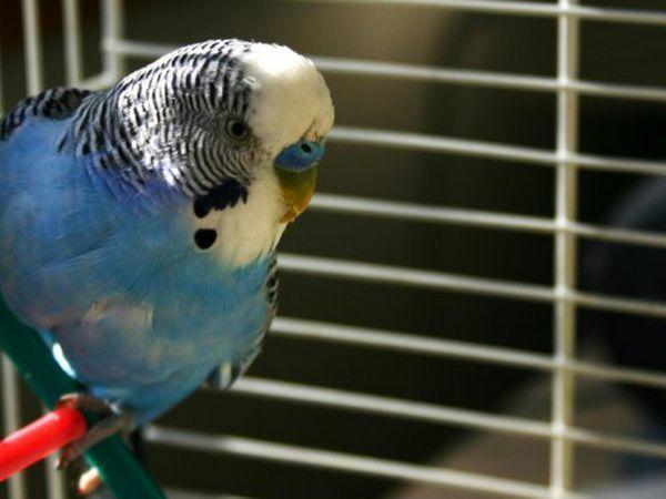 Визначення статі і віку хвилястих папуг