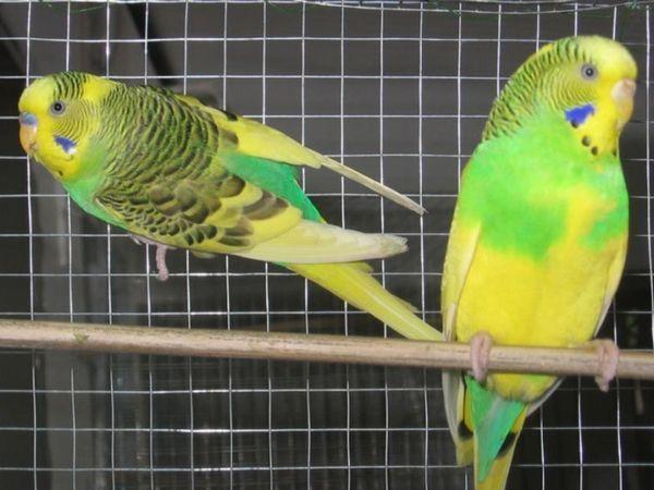 Скільки живе папуга