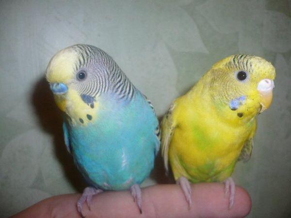 Як відрізнити хвилястого папугу-хлопчика від дівчинки