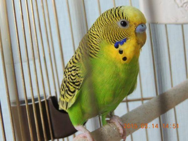 Опис хвилястого папугу