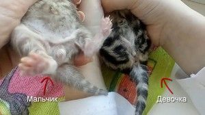 Як виглядає новонароджений кошеня