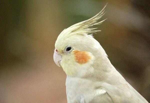 Голова папугу Кореллі