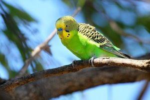 Способи дізнатися вік хвилястого папугу