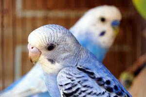 Поради, як просто дізнатися вік хвилястого папугу