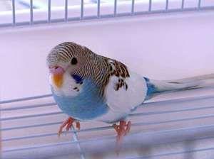 За якими ознаками можна дізнатися вік хвилястого папугу