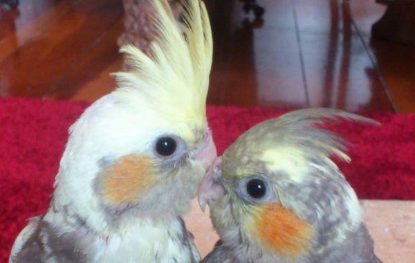пташенята корелл