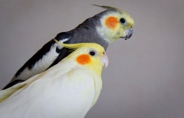 Як визначити стать папуги Кореллі