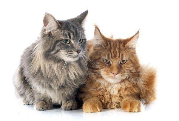 Mainské mývalie veľké mačky
