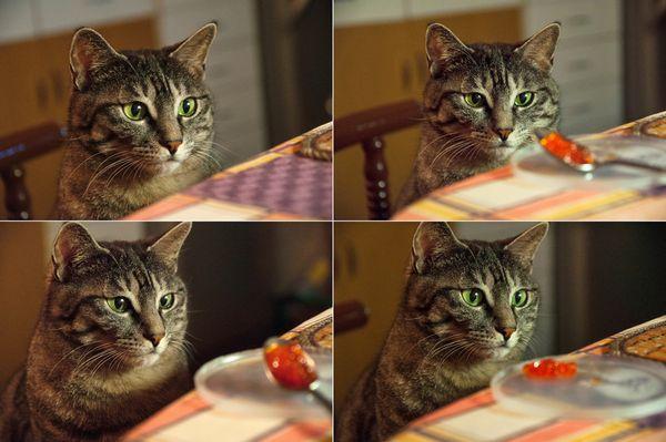 кіт їсть червону ікру