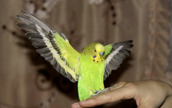 Папуга сидить на руці