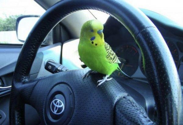 Папуга в машині