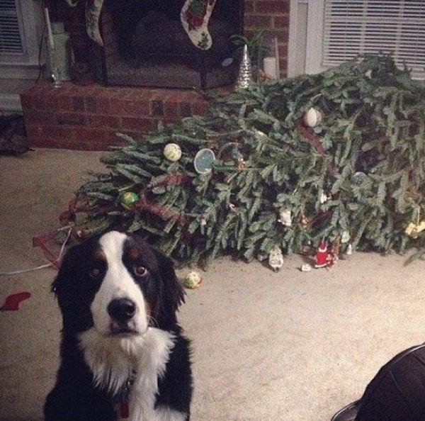 собака впустила ялинку