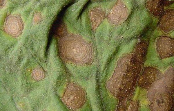 Alternaria на аркуші рослини