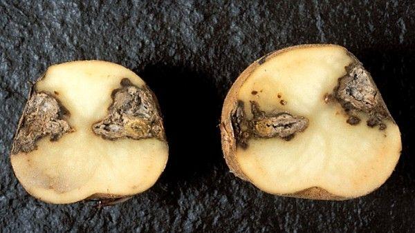 фомоз картоплі