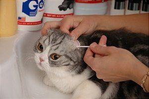 Як чистити вуха коту в домашніх умовах
