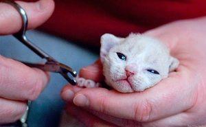 Стрижка кігтів у маленького кошеняти
