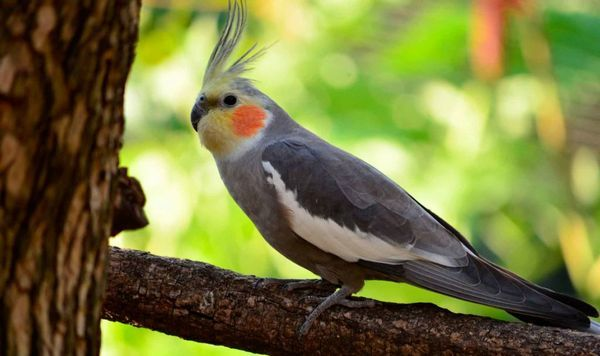 Як співає Кореллі і як правильно приручити папугу до рук